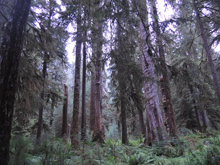 Hoh Rainforest at Olympic National Park